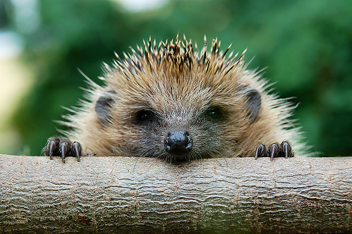 Help Hedgehogs today!